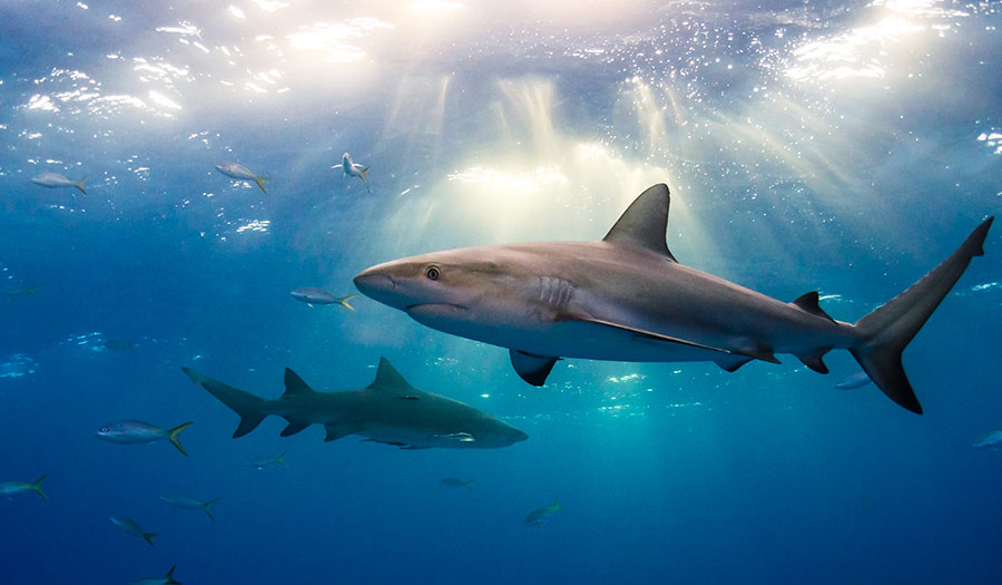 Shark Populations Dropped 71 Percent Since 1970