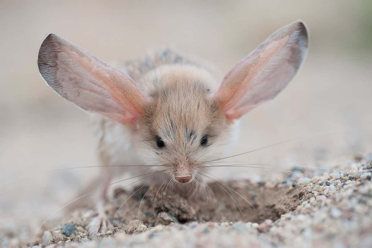 Scientists find the animal with the biggest ears